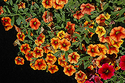 Superbells® Spicy Calibrachoa (Calibrachoa 'Superbells Spicy') at The Mustard Seed