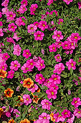 Superbells® Pink Calibrachoa (Calibrachoa 'Superbells Pink') at Bartlett's Farm