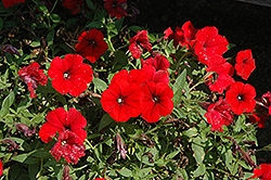 Surfinia® Deep Red Petunia (Petunia 'Surfinia Deep Red') at Bachman's Landscaping