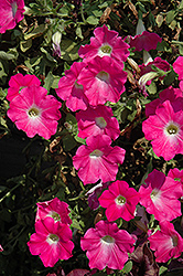 Supertunia® Mini Bright Pink Petunia (Petunia 'Supertunia Mini Bright Pink') at The Mustard Seed