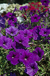 Supertunia® Mini Blue Petunia (Petunia 'Supertunia Mini Blue') at The Mustard Seed