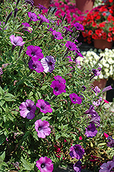 Supertunia® Indigo Charm Petunia (Petunia 'Supertunia Indigo Charm') at The Mustard Seed