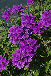 Superbena® Dark Blue Verbena (Verbena 'Superbena Dark Blue') at The Mustard Seed
