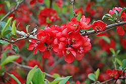 Knap Hill Scarlet Flowering Quince (Chaenomeles x superba 'Knap Hill Scarlet') at A Very Successful Garden Center