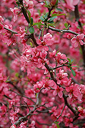 Enchantress Flowering Quince (Chaenomeles x californica 'Enchantress') at A Very Successful Garden Center
