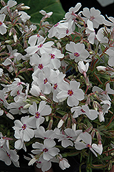 Amazing Grace Moss Phlox (Phlox subulata 'Amazing Grace') at The Mustard Seed