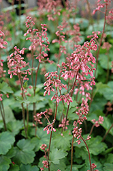 Peppermint Coral Bells (Heuchera 'Peppermint') at Flagg's Garden Center