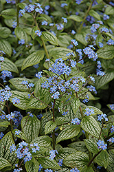 Silver Heart Bugloss (Brunnera macrophylla 'Silver Heart') at Dundee Nursery