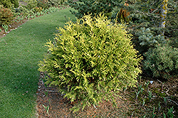 Golden Globe Arborvitae (Thuja occidentalis 'Golden Globe') at Flagg's Garden Center