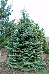 Baby Blue Eyes Spruce (Picea pungens 'Baby Blue Eyes') at The Mustard Seed