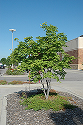 Korean Maple (Acer pseudosieboldianum) at The Mustard Seed