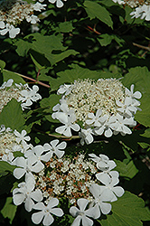 Wentworth Viburnum (Viburnum trilobum 'Wentworth') at Bachman's Landscaping