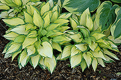 Orange Marmalade Ball Hosta (Hosta 'Orange Marmalade') at The Mustard Seed