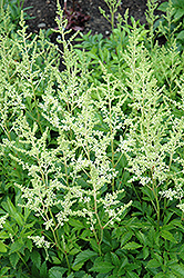 Snowdrift Astilbe (Astilbe x arendsii 'Snowdrift') at The Mustard Seed