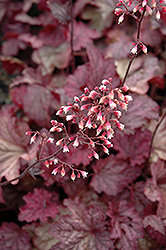 Berry Smoothie Coral Bells (Heuchera 'Berry Smoothie') at The Mustard Seed