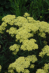 Sunny Seduction Yarrow (Achillea millefolium 'Sunny Seduction') at Flagg's Garden Center