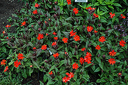 Orange Gnome Campion (Lychnis x arkwrightii 'Orange Gnome') at Dundee Nursery