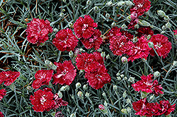 Pomegranate Kiss Pinks (Dianthus 'Pomegranate Kiss') at Flagg's Garden Center