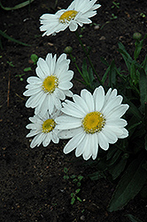 Highland White Dream Shasta Daisy (Leucanthemum x superbum 'Highland White Dream') at The Mustard Seed