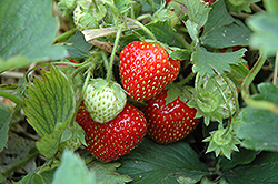 Cabot Strawberry (Fragaria 'Cabot') at A Very Successful Garden Center