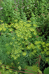 Dill (Anethum graveolens) at Flagg's Garden Center