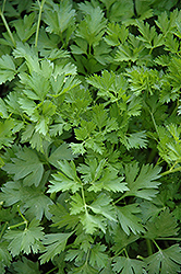 Italian Parsley (Petroselinum crispum 'var. neapolitanum') at The Mustard Seed