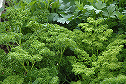 Curly Parsley (Petroselinum crispum 'var. crispum') at The Mustard Seed