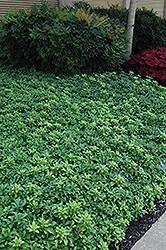 Green Sheen Japanese Spurge (Pachysandra terminalis 'Green Sheen') at The Mustard Seed