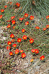 Rio Grande Orange Portulaca (Portulaca oleracea 'Rio Grande Orange') at The Mustard Seed