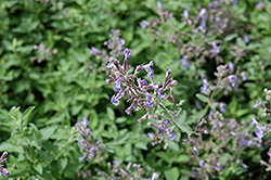 Junior Walker Catmint (Nepeta x faassenii 'Novanepjun') at Dundee Nursery