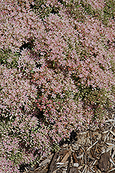 Rock 'N Grow® Pure Joy Stonecrop (Sedum 'Pure Joy') at Bartlett's Farm