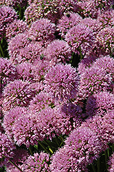 Millenium Ornamental Onion (Allium 'Millenium') at The Mustard Seed
