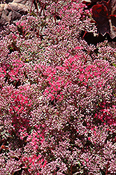 Rosy Glow Stonecrop (Sedum 'Rosy Glow') at The Mustard Seed