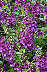 Archangel™ Dark Purple Angelonia (Angelonia angustifolia 'Archangel Dark Purple') at Flagg's Garden Center