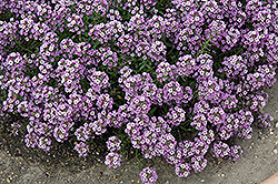 Clear Crystal Lavender Shades Sweet Alyssum (Lobularia maritima 'Clear Crystal Lavender Shades') at The Mustard Seed