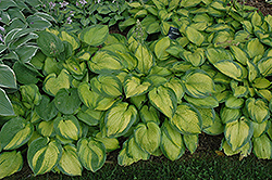 Paradigm Hosta (Hosta 'Paradigm') at The Mustard Seed