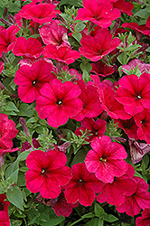 Easy Wave® Berry Velour Petunia (Petunia 'Easy Wave Berry Velour') at The Mustard Seed