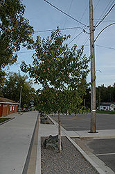 Amur Maple (tree form) (Acer ginnala '(tree form)') at Arrowhead Nurseries Ltd.