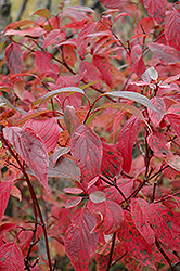 Red Osier Dogwood (Cornus sericea) at The Mustard Seed