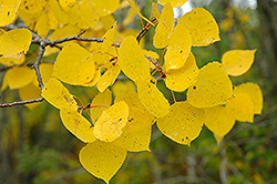 Trembling Aspen (Populus tremuloides) at The Mustard Seed