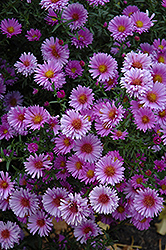 Purple Dome Aster (Aster novae-angliae 'Purple Dome') at Bartlett's Farm