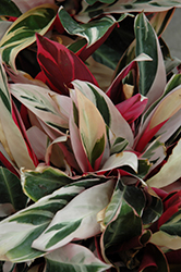 Triostar Stromanthe (Stromanthe sanguinea 'Triostar') at A Very Successful Garden Center