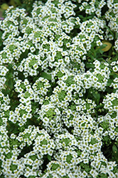 Clear Crystal White Sweet Alyssum (Lobularia maritima 'Clear Crystal White') at The Mustard Seed
