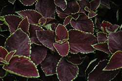 Premium Sun Chocolate Mint Coleus (Solenostemon scutellarioides 'Chocolate Mint') at The Mustard Seed