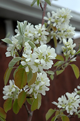 Standing Ovation Serviceberry (Amelanchier alnifolia 'Obelisk') at The Mustard Seed