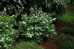 Tor Spirea (Spiraea betulifolia 'Tor') at The Mustard Seed