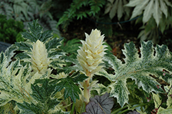 Whitewater Acanthus (Acanthus 'Whitewater') at Flagg's Garden Center