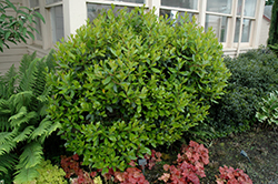 Dwarf Strawberry Tree (Arbutus unedo 'Compacta') at A Very Successful Garden Center
