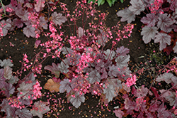 Milan Coral Bells (Heuchera 'Milan') at Flagg's Garden Center