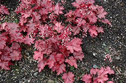 Fire Chief Coral Bells (Heuchera 'Fire Chief') at The Mustard Seed
